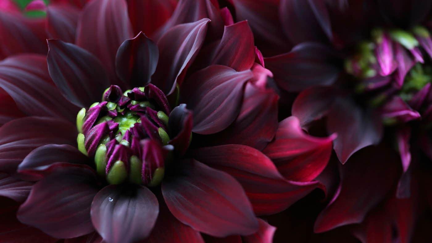 Burgunderrød blomst