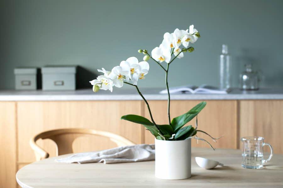 Phalaenopsis 2-grenet i krukke
