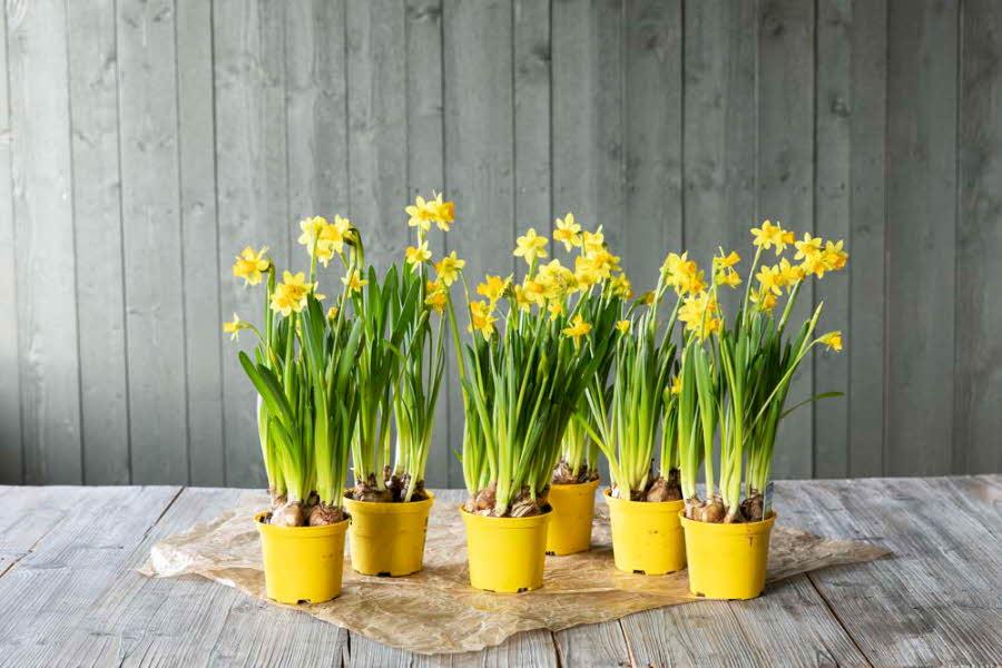 Narciss-blomster i krukker